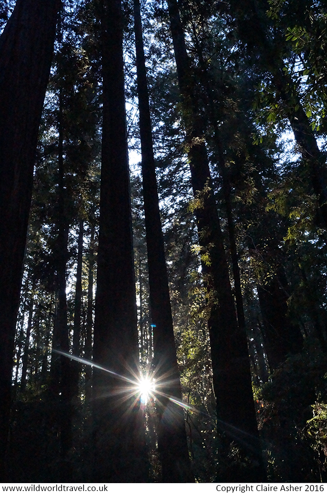 Coastal Redwoods at Henry Cowell